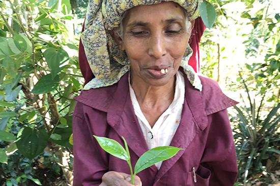 スマワティさんが持っているのは、美味しい紅茶を作るために必要な茶摘みの基本「一芯二葉(若い芽とその下の柔らかい2枚の葉だけ摘む)」で摘んだ茶葉。